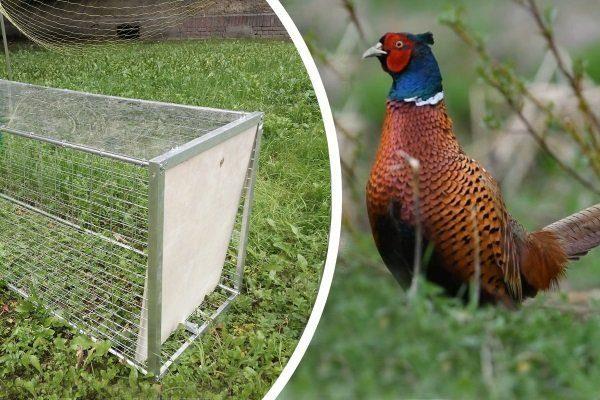 Ловля фазана живым ‒ правила и советы охотников