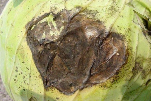Слизистый бактериоз (черная гниль) капусты