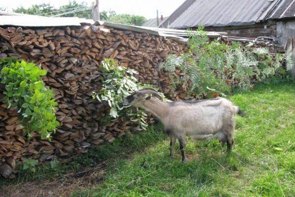 Веточный корм для коз