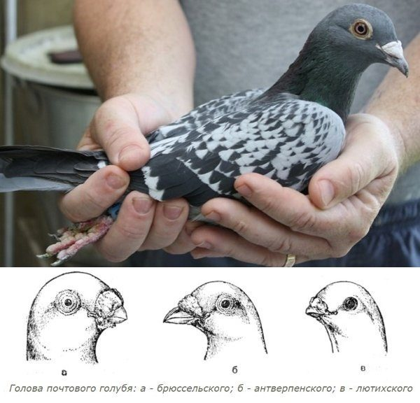 Бельгийские голуби