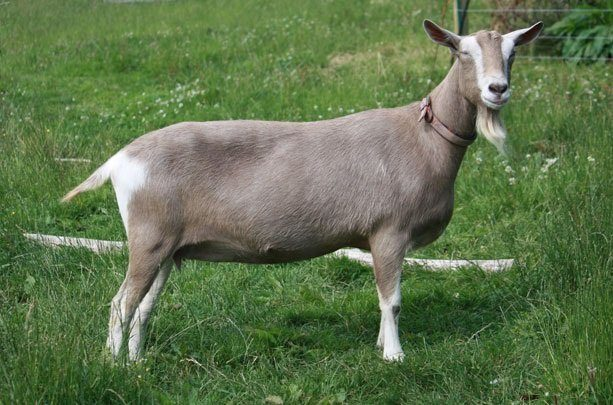 Тоггенбургский козел