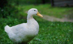 Благоварская утка