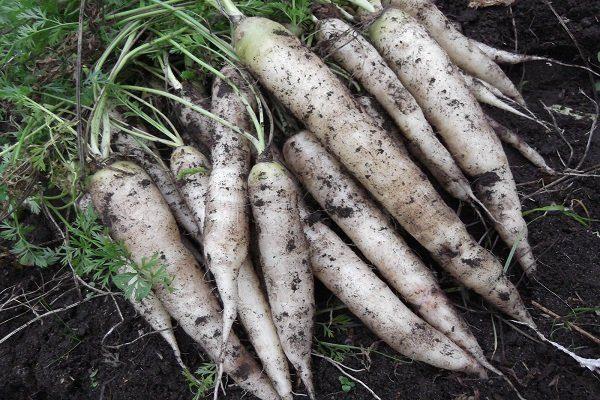 Белая морковь