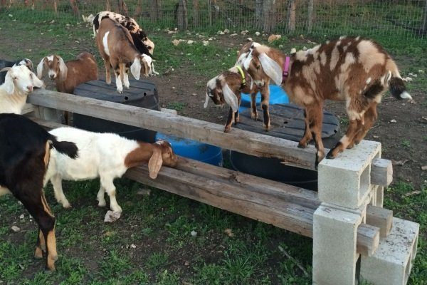 Площадка для выгула коз