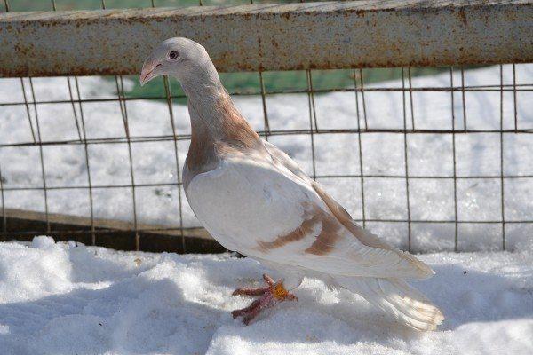 Русские почтовые голуби