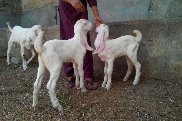 Молодые козы Голаби