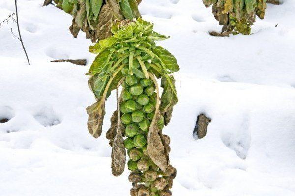 Брюссельская капуста на снегу