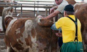Осеменение коровы