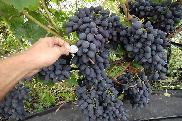 Нагрузка винограда кодрянка
