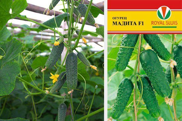 Семена огурцов Мадита F1