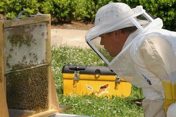 Наблюдение за пчелиным роем