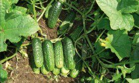 Сбор урожая огурцов Феникс