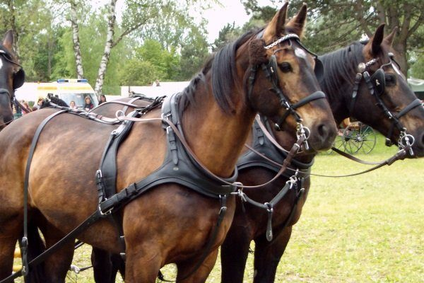 Упряжка лошадей