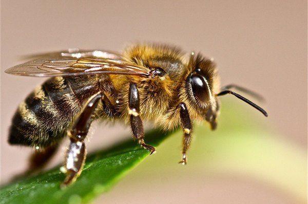 Пчела на листке