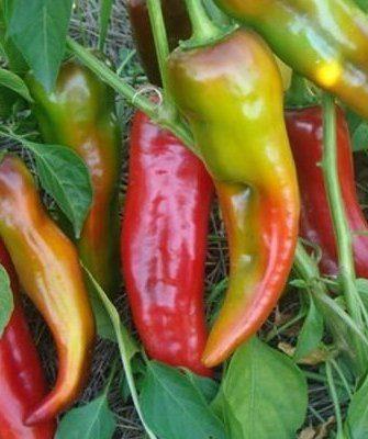 Урожай перца Какаду