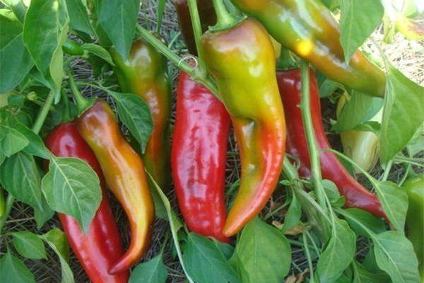 Перец Какаду – главные характеристики гибрида и правила выращивания