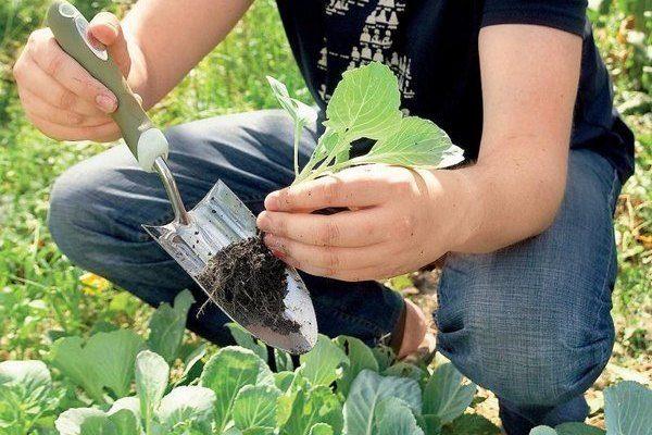 Прореживание капусты