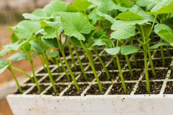 Огурцы сорта Зозуля: как выращивать и собрать хороший урожай?
