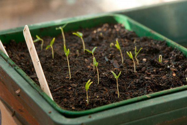 Проращивание семян перца на рассаду