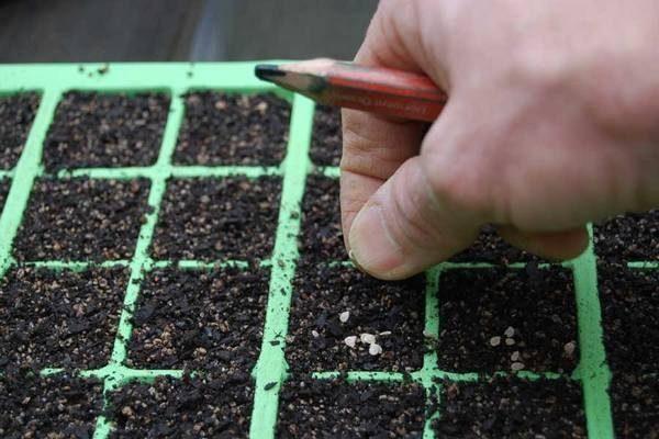Посадка семян томатов