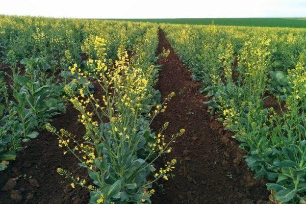 Выращивание маточников капусты