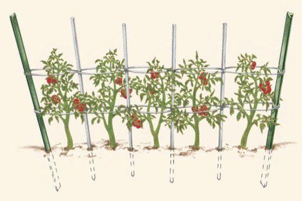 Как подвязать помидоры к шпалере