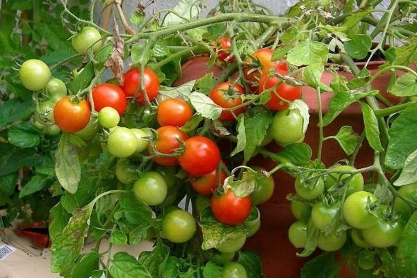 tomat-pugovka-2.jpg