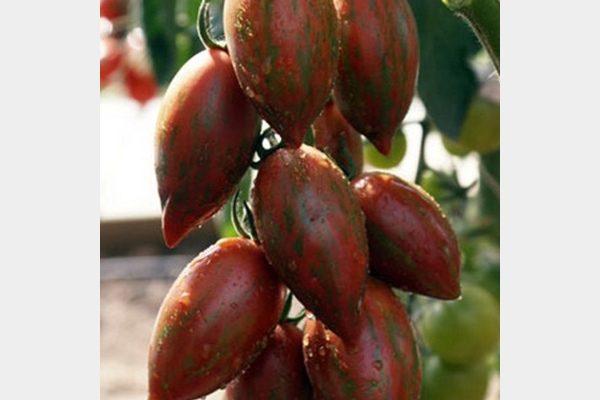 tomat-shokoladka-f1.jpg