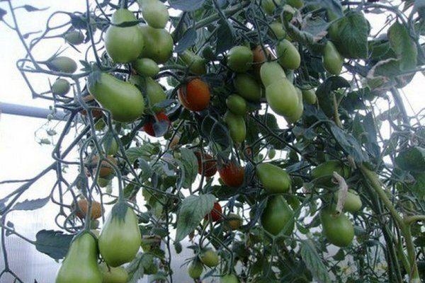 tomaty-sozrevaut.jpg