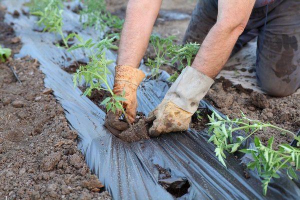 Укрывать рассаду томатов на грядке
