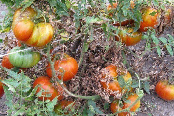 Сухие листья томатов