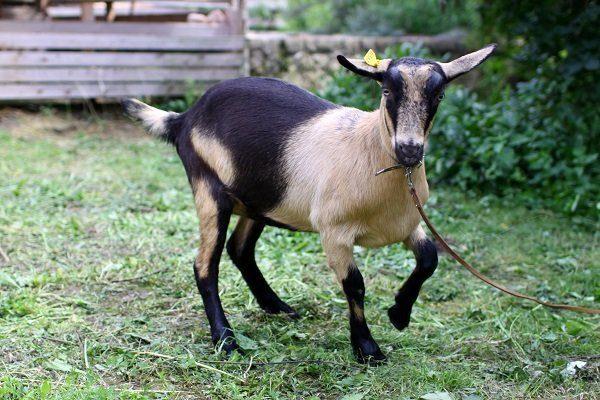 Джалонка коза