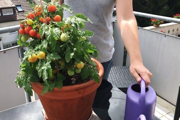 Выращивание томата Балконное чудо