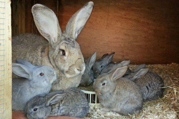 Крольчиха с крольчатами породы Фландр