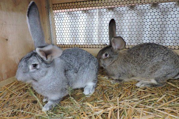 Кролики Ризен в клетке