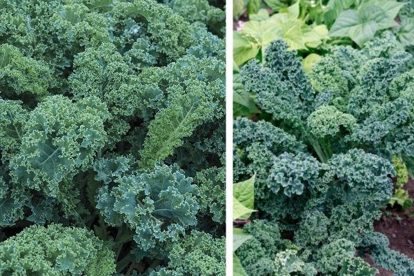 Scotch blue kale