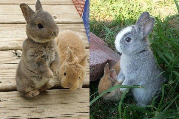 Кролики породы Мини-Рекс