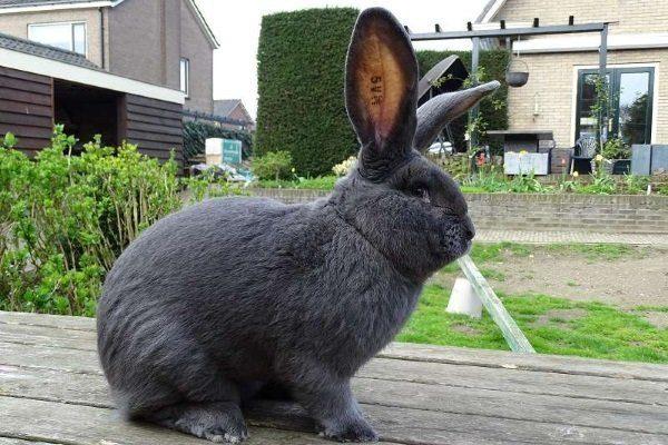 Кролик Ризен голубой