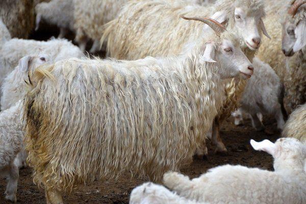 Дагестанские козы пухового направления