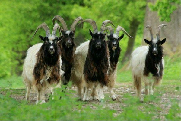 Киргизские пуховые козы