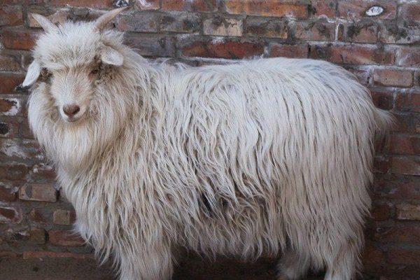 Кашмирская пуховая коза