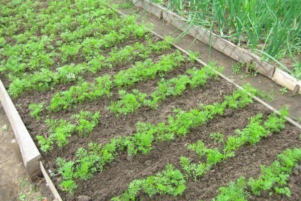 Где растить морковь