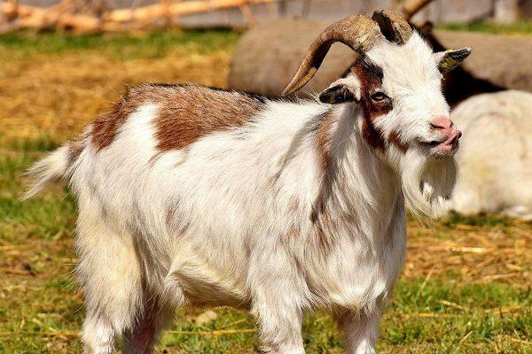 Лонглинские козы