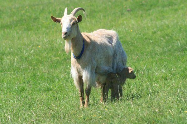Золотая гернсийская коза