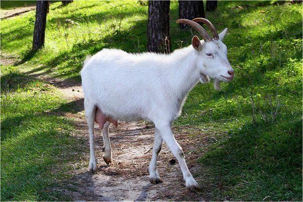 Гуангзонгская белая коза