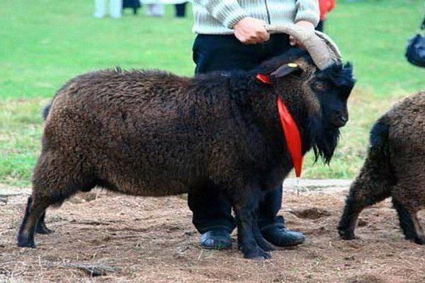 Горно-алтайские козы