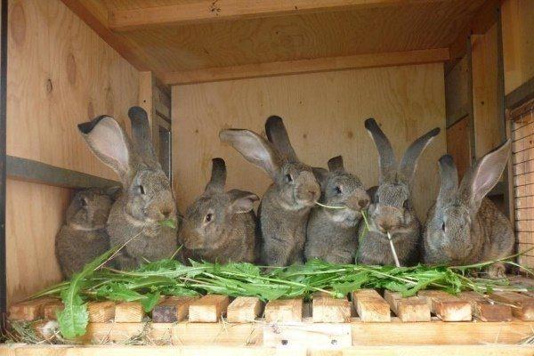 Кормление кроликов Фландр