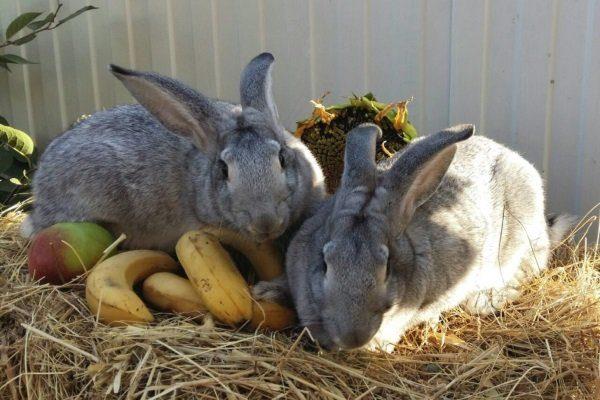 Кролики едят фрукты
