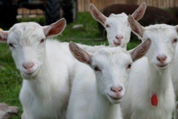 Белые Бельгийские козы