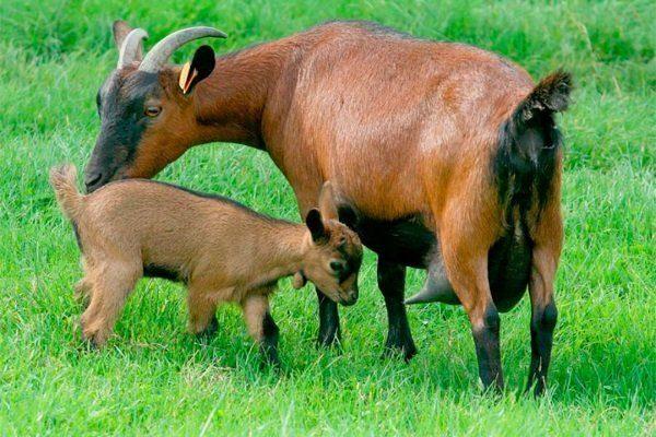 Чешские бурые козы